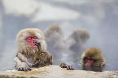 Instinct: Wild Baby Snow Monkey Grooming Practice Royalty Free Stock Photography