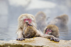 Instinct: Wild Baby Snow Monkey Grooming Mom. The focus here is on an adorable tiny baby wild snow monkey that sits on it`s mother`s lap, learning the art of Stock Image