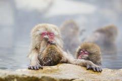 Instinkt: Wilder Baby-Schnee-Affe-putzende Mutter Stockbild