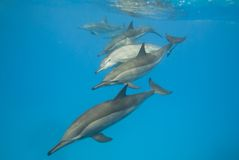 Instruction des dauphins sauvages de fileur. Photographie stock