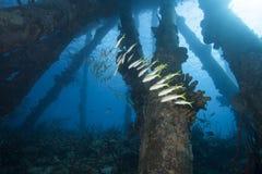 Instruction des poissons tropicaux sous le pilier, Bonaire Photos libres de droits