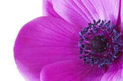 Instruction-macro à l'intérieur d'une fleur pourprée d'anémone photos stock