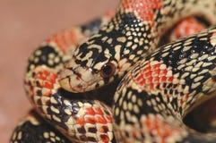 Instruction-macro au nez long de serpent Photo stock