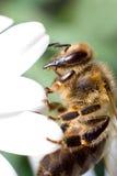 Instruction-macro d'abeille Images libres de droits