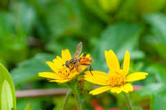 Instruction-macro d'abeille en nature verte Photographie stock