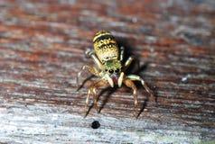 Instruction-macro d'araignée Photo libre de droits