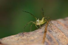 Instruction-macro d'araignée de lynx Photographie stock