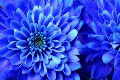 Instruction-macro d'aster bleu de fleur Images libres de droits