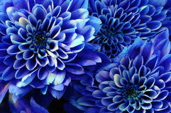 Instruction-macro d'aster bleu de fleur Image stock