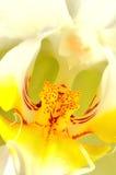 Instruction-macro d'orchidée de Colorfull Photo libre de droits