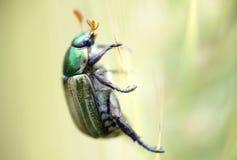 Instruction-macro d'un coléoptère image libre de droits