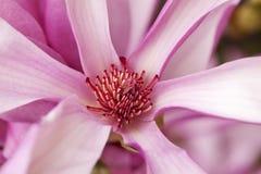 Instruction-macro d'une belle fleur de magnolia photos stock