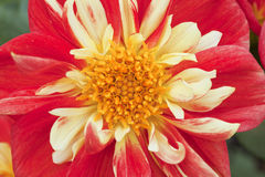 Instruction-macro d'une belle fleur rouge de dahlia Images libres de droits