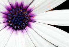 Instruction-macro d'une fleur blanche et pourprée Photographie stock