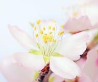 Instruction-macro d'une fleur d'arbre d'amande de floraison Photographie stock