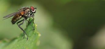 Instruction-macro d'une mouche Photos stock