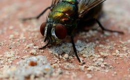 Instruction-macro d'une mouche Photographie stock