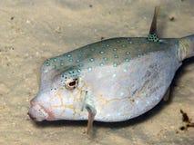 Instruction-macro de Boxfish photographie stock