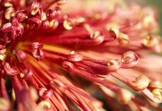 instruction-macro de chrysanthemum images libres de droits