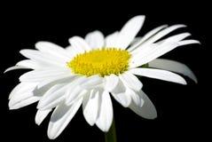 Instruction-macro de fleur blanche sur le noir avec le chemin. Photos libres de droits