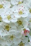 Instruction-macro de fleur d'aubépine Images stock