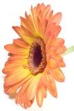 Instruction-macro de fleur d'isolement sur le blanc Images stock