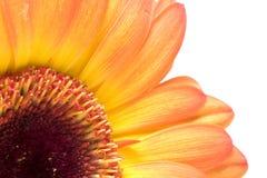 Instruction-macro de fleur d'isolement sur le blanc Photo stock