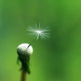Instruction-macro de fleur de pissenlit Photos stock
