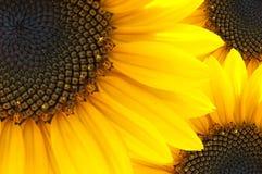 Instruction-macro de fleur du soleil Image libre de droits