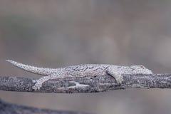 Instruction-macro de Gecko Images libres de droits
