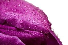 Instruction-macro de la tulipe violette Photographie stock
