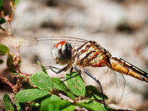 Instruction-macro de libellule Photographie stock