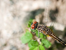 Instruction-macro de libellule Photo libre de droits