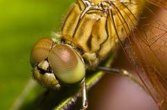 Instruction-macro de libellule Photos stock