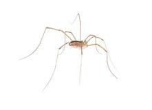 Instruction-macro de longue araignée de pattes Images libres de droits