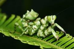 Instruction-macro de Mantis de fleur d'ASEAN Image stock