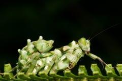 Instruction-macro de Mantis de fleur d'ASEAN Photos libres de droits