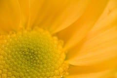 Instruction-macro de marguerite Photographie stock libre de droits