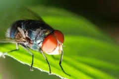 Instruction-macro de mouche d'insecte Photos stock