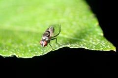 Instruction-macro de mouche d'insecte Image stock
