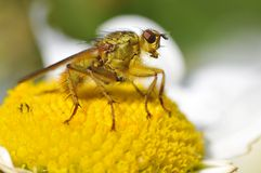 Instruction-macro de mouche de fumier jaune commune sur la fleur de marguerite Photo stock