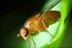 Instruction-macro de mouche à fruit Images stock