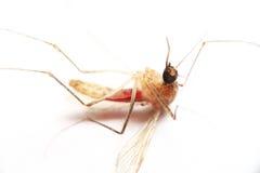 Instruction-macro de moustique Photos stock