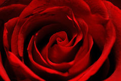 Instruction-macro de Rose Image stock