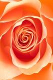 Instruction-macro de Rose Photo libre de droits