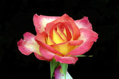 Instruction-macro de Rose d'arc-en-ciel Photo stock