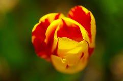 Instruction-macro de tulipe Photos stock