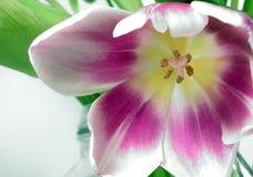 Instruction-macro de tulipe Photo libre de droits