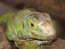 Instruction-macro de visage d'iguane Photo libre de droits