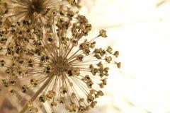 Instruction-macro des fleurs d'oignon Images libres de droits